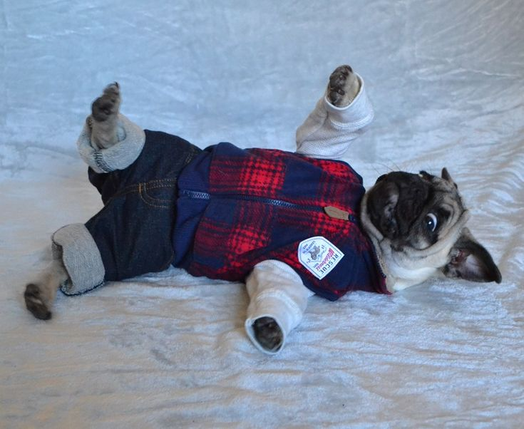 Our Boo Dressed Up As An Abercrombie & Fitch Model #pugcostume #pughalloween #abercrombie