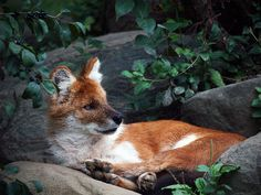 This wild dog is known as a (dohle) and originates from asia.