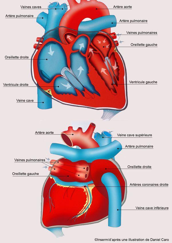 L'infarctus du myocarde : des premiers signes au traitement - Sciencesetavenir.fr                                                                                                                                                                                 Plus