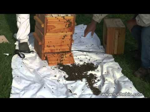 Un essaim naturel sort de notre ruche Warré - rucher école Villa le Bosquet - YouTube