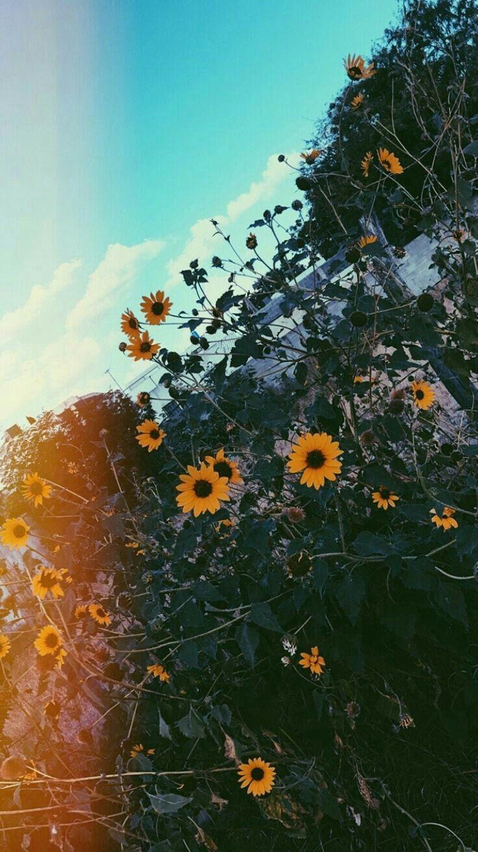 Mais Um Girassol Msm Sunflower Wallpaper Nature Wallpaper Aesthetic Iphone Wallpaper