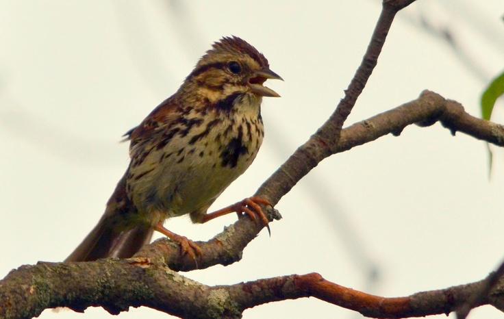 Song sparrow... near Strathroy, Ontario, Canada... photo by Brent Van Hooft