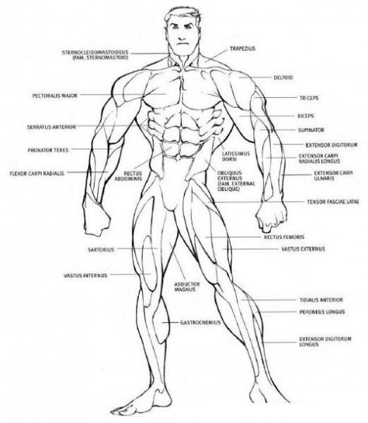 Resultado De Imagen Para Sistema Muscular Para Colorear Comic Book Artists Anatomy Make A Character