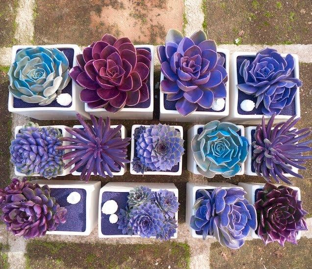 This really caught my eye-bright blue and purple succulents. Turns out these have been lightly spray painted. I also read that you can put food coloring in water and water the plants to change colo…