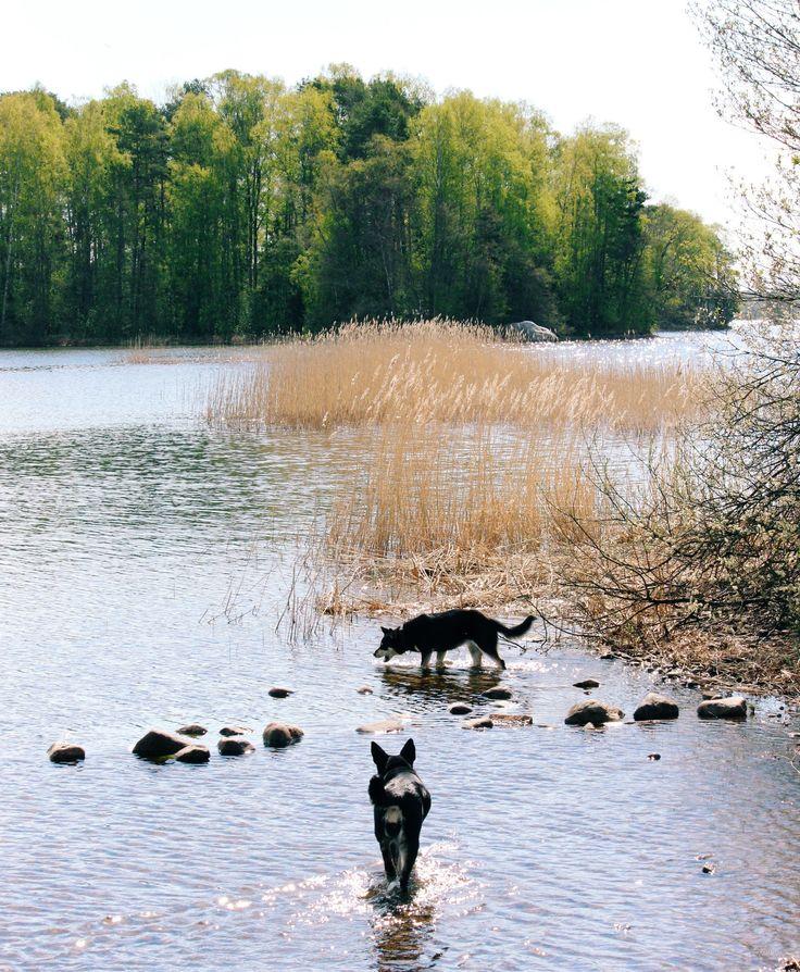 Dogs are having swimming fun! Räpsy and Seita