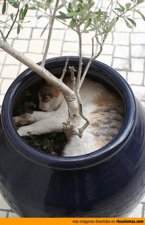 Gato durmiendo en una maceta.