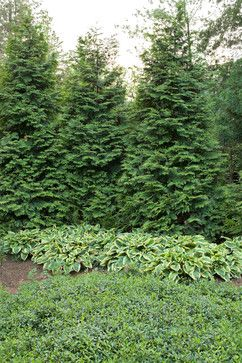 Evergreens for privacy. Perfect for privacy landscaping to hide the neighbors driveway.