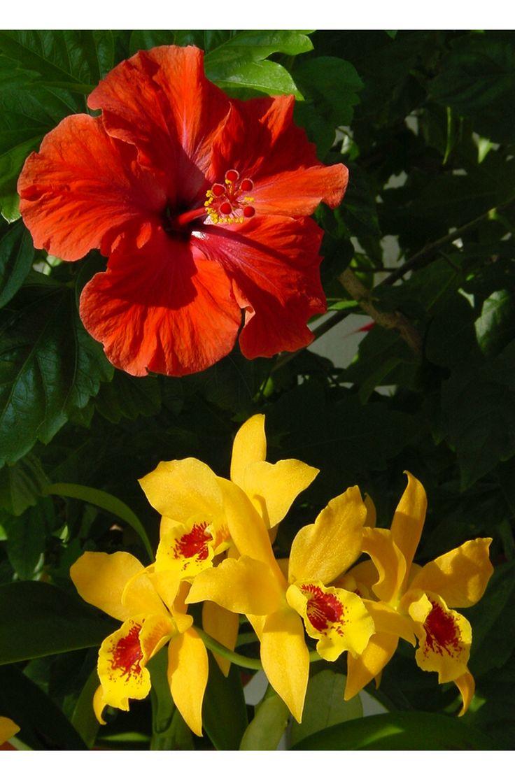 Hibiscus, Cattleya