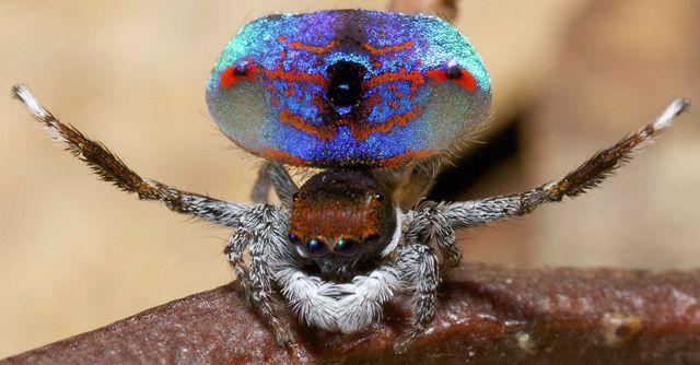 araigne-sauteuse-paon