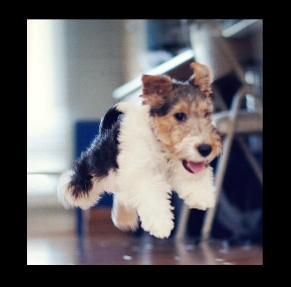 Wire Fox Terrier puppy leaps of joy :-)
