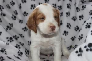 Brittany Spaniel Puppies For Sale In Loysville Pa. http://www.network34.com/dogsbreed/brittany-puppies-for-sale-pa-md-ny-nj-dc/