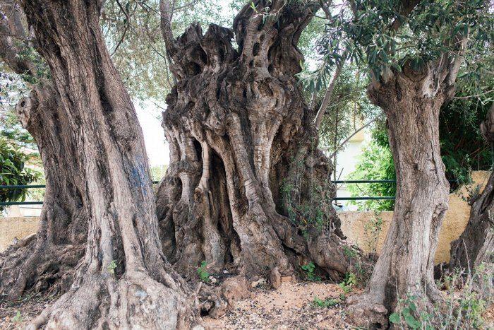 Η «Ελιά της Όρσας»: Το δέντρο 2500 ετών στη Σαλαμίνα που έζησε τη μεγάλη…