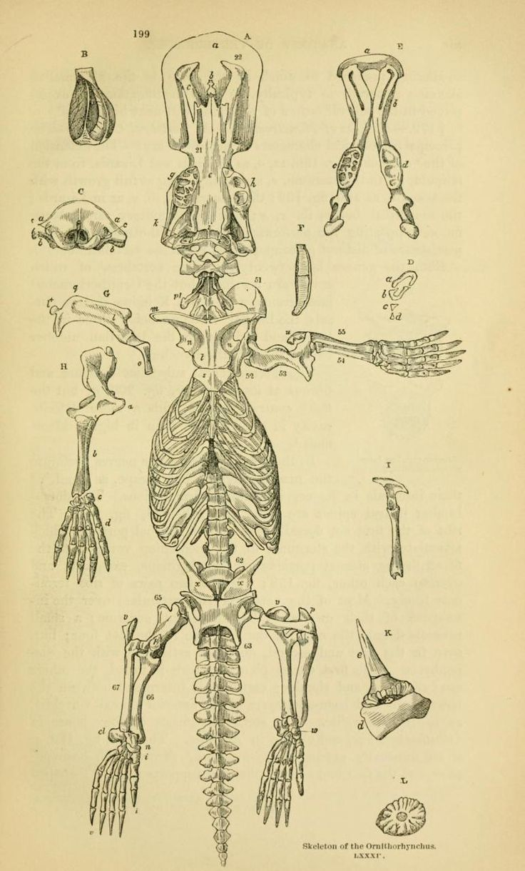 Ornithorhynchus is the genus that the modern platypus belongs to. I assume it's just a normal platypusdisarticulatedhere. Anatomy of Vertebrates, vol. II. Birds and Mammals.Richard Owen, 1866.