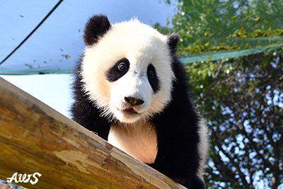 アドベンチャーワールド公式@aws_official  昨年9月18日生まれのパンダの赤ちゃん「結浜(ゆいひん)」が本日5月18日で生後8か月になりました!成長するにつれてよく目立つようになってきたのは、少しだけ飛び出た頭のてっぺんの毛。寝ぐせみたいな?可愛らしいチャームポイントです。 #アドベンチャーワールド #パンダ