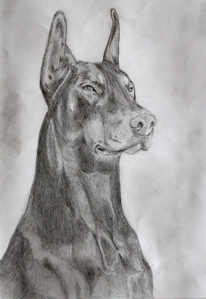 A gift for one of my friend. :) Doberman pencil art  #drawing #dog #dogdrawing #kutya #rajz