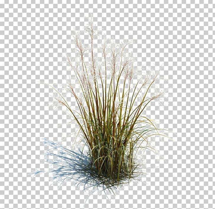 Tallgrass Prairie Ornamental Grass Grasses Lawn Ornamental Plant Png Background Size Footer Garden Grass Ornamental Grasses Tree Photoshop Grass Photoshop