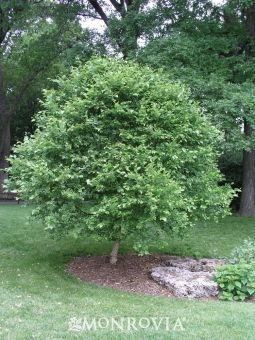 9 best ornamental trees for zone 4 images on pinterest for Dwarf ornamental trees for zone 4