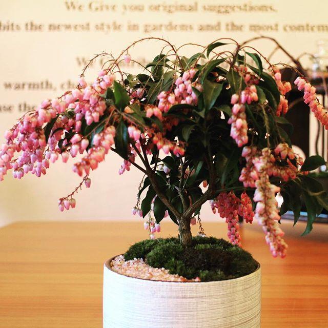 【kimaruspace】さんのInstagramをピンしています。 《馬酔木(アセビ) 満開です🌸今が見頃です 薄紅色の花が多数垂れ下がるように咲きます 花の特長は花期が長いことです 可憐で可愛らしい花です #盆栽#bonsai#苔玉#kokedama#テラリウム#インテリア#和#造園#エクステリア#剪定#お庭#外構#工事#グリーン#新築#住宅#坪庭#芝生#見積り無料#静岡#島田#焼津#藤枝#ワークショップ#アソビュー#キマルスペース#kimaruspace》