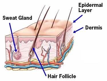 Image result for sweat glands