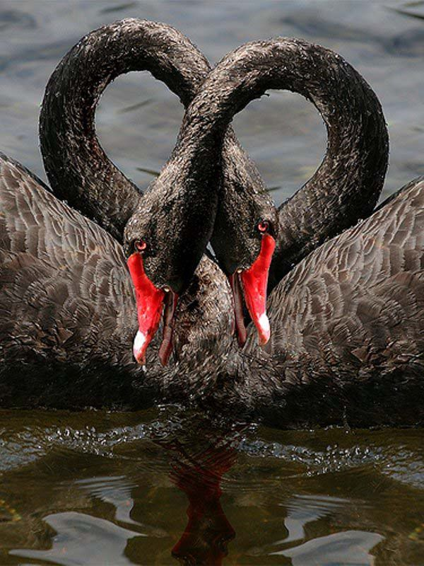 A pair of black swans...so beautiful that they are the unusual black, but also because swans mate for life. If one perishes, the other often dies shortly thereafter.