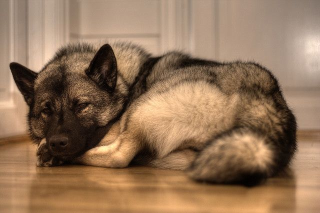 elkhounds are so pretty, I miss my mazzy star that stared my love for huskies. Both dogs are so great. <3