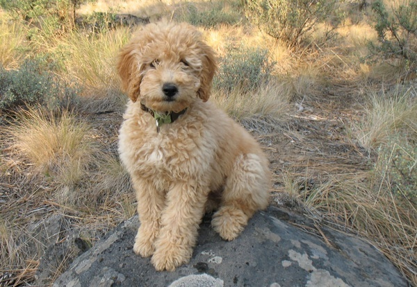 Pin by Karen Costa on Puppies Tibetan terrier, Puppies
