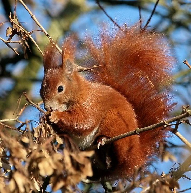 eichhörnchen | ♥ eichhörnchen | pinterest