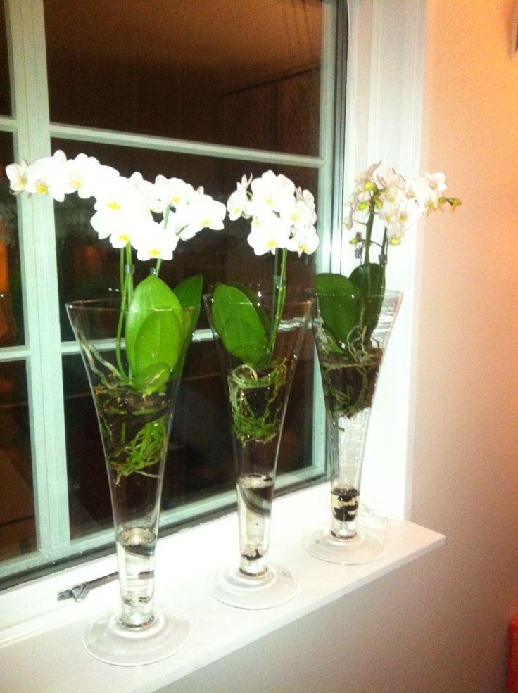 Orkideer. hvite blomster, pynt i vinduet. White phalaenopsis orchid