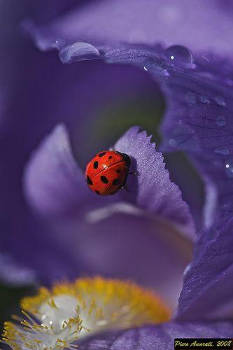 ladybug & bearded iris