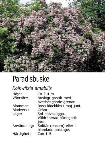 Paradisbuske
