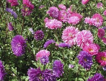 Callistephus chinensis   Reine Marguerite, fleurs doubles