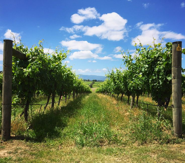 What better way to spend a lovely summer day in Victoria than to go on a wine tour in the beautiful Yarra Valley? Sip on some delicious wine and soak up the sun with friends at one of the many relaxing Victorian wineries. Check out Backpackerdeals.com to book your tour today! #YarraValley #Victoria #wine #winery #travel #VisitVictoria #Australia #Travel #explore #traveling #travelgram #discoveraustralia #summer #vineyard #yarra