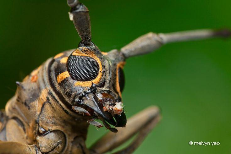 Longhorn beetle by ~melvynyeo on deviantART