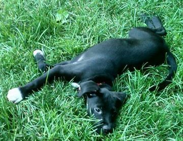Adopted 7/21/13 Name: Unix Age: 12 weeks: Weight: 15 lbs Breed: Black Lab This darling was rescued from a high kill shelter. He is looking for an amazing home that will teach him love and patience.