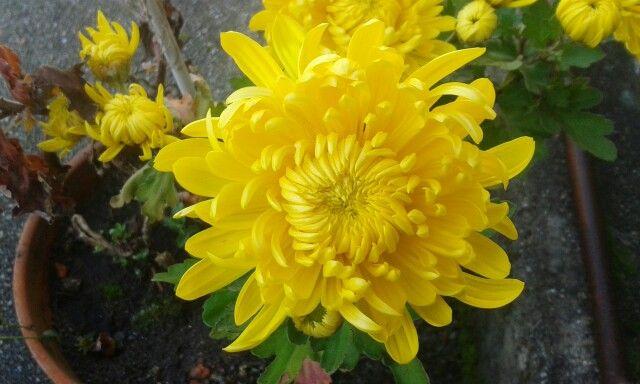 Crisantemo amarillo/ 2 nov