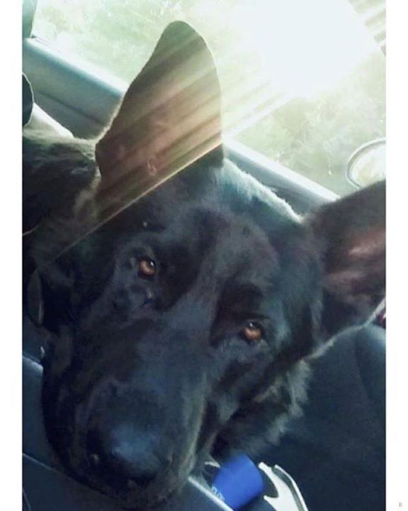 Lost Dog Lakeville German Shepard Male Date Lost 11 17 2018 Dog S Name Rowdy Breed Of Dog German Shepherd Purebred Gender Ma With Images Losing A Dog Dogs Dog Ages