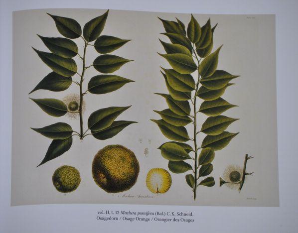 In Prateria, William Least Heat-Moon scrive circa undici pagine sulla Maclura pomifera, che qui da noi è considerata al più una curiosità botanica. Nelle sue peregrinazioni, Least Heat-Moon desider…