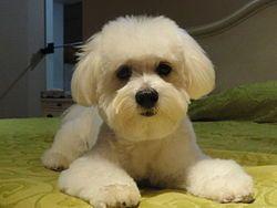 """El corte canino estilo """"cachorro"""" mantiene al Maltés fresco, y es más fácil de cepillar."""