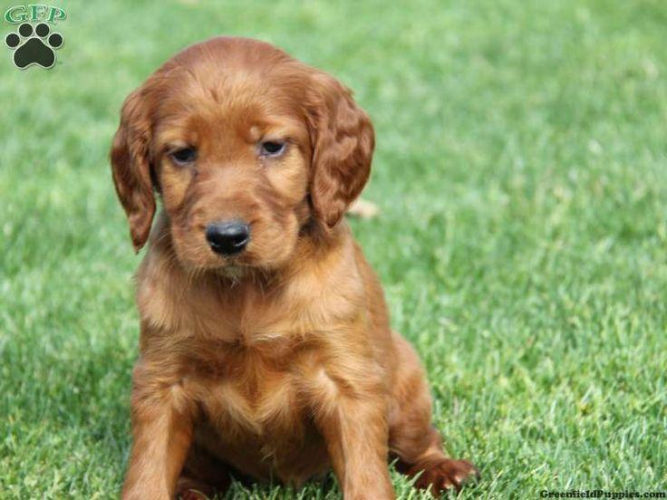 Irish Setter puppy Puppies Pinterest Irish setter