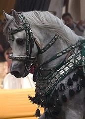 Arabian horse in Native Costume.