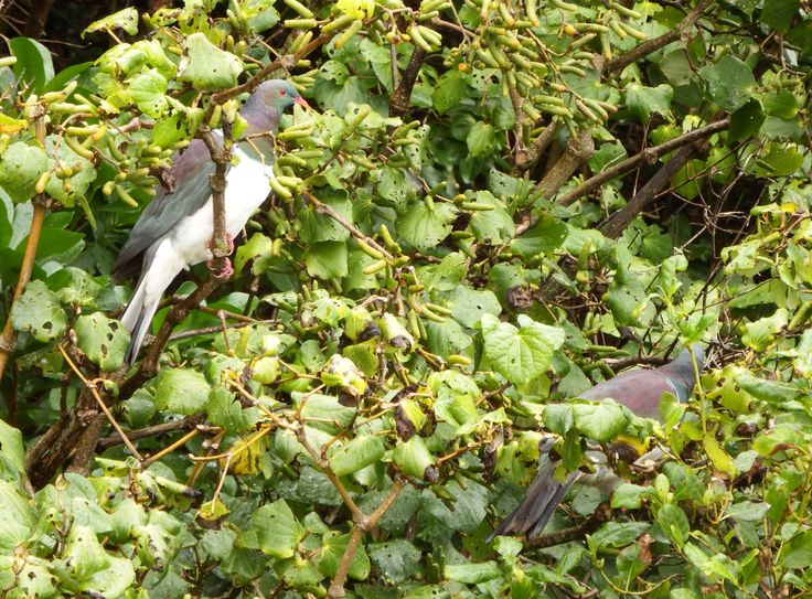 Kawakawa (Macropiper excelsum) with Kereru feeding on fruit. Has broad heart shaped leaves and blackish stems with swollen joints. A much valued medicinal plant of Maori. Leaves have a hot peppery taste.