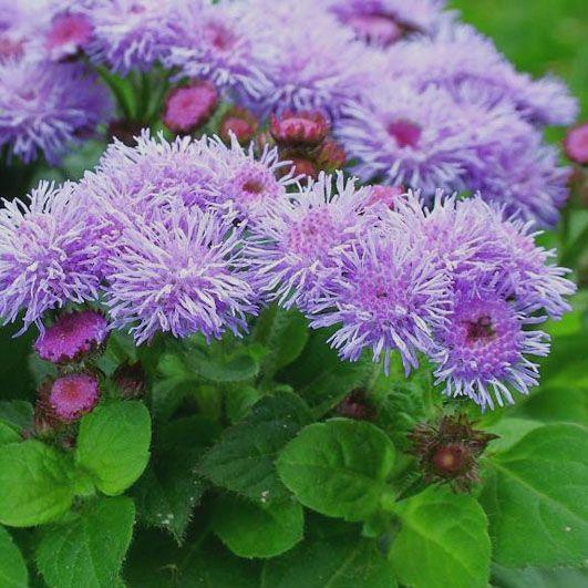 Nestařec - http://www.pestovani.in/cz/kvetiny-okrasne-rostliny/