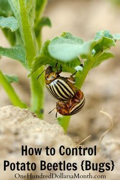 How to Control Potato Beetles {Bugs} - Companion planting will help to deter them from ever settling in because the smell of the companion plants repel the beetles. You'll want to integrate these plants in between the rows of your potatoes in order for them to be protective: 1.Horseradish 2.Bush Beans 3.Catnip {put these in small pots around your potatoes, because they are like mint and will take over} 4.Cilantro 5.Sweet Allysum 6.Fennel 7.Cosmos 8.Coriander 9.Tansy 10.Marigolds