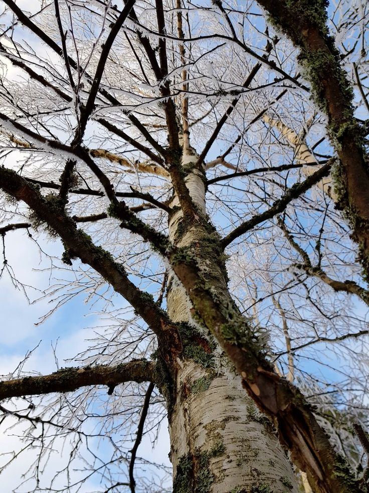 The birch in wintertime.