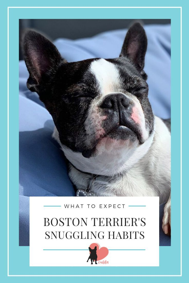 Why Do Boston Terriers Sleep Under Covers Boston Terrier Terrier Boston Bull Terrier
