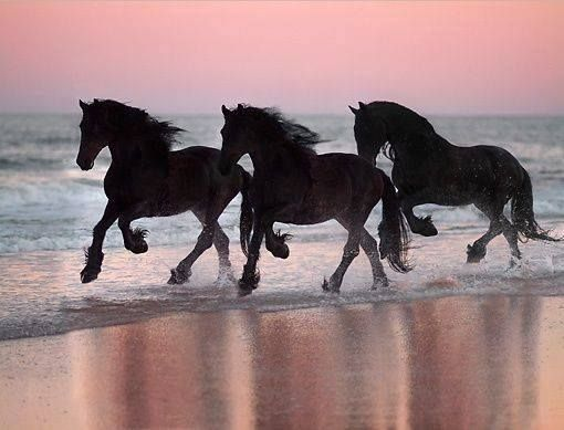 Friesians running on a beach