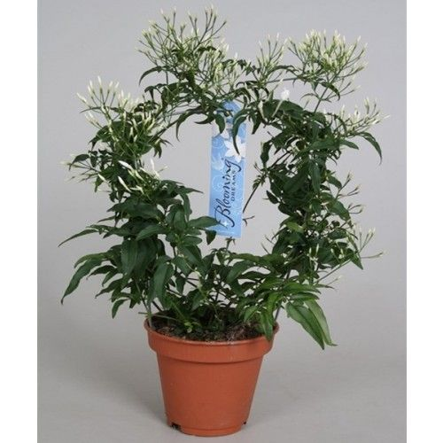 Jasmine round 30 cm - flowering plants - Flower online.hu. Gardens, ornamental plants and flowers? Gardening shop.