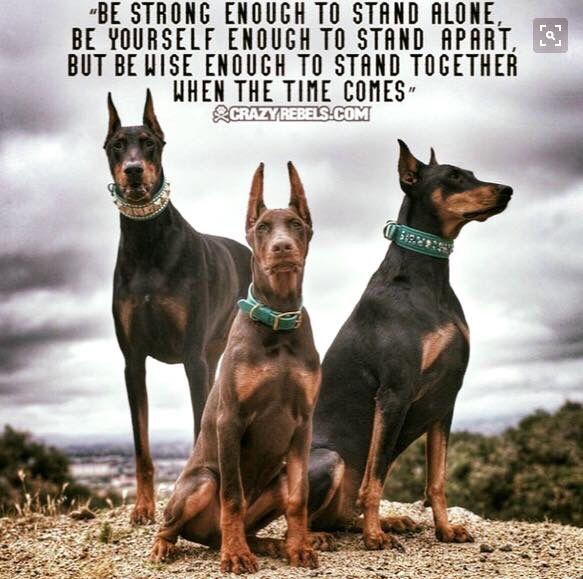 Pin By Ericksepeley On Doberman Doberman Dogs Dog Breeds Dogs