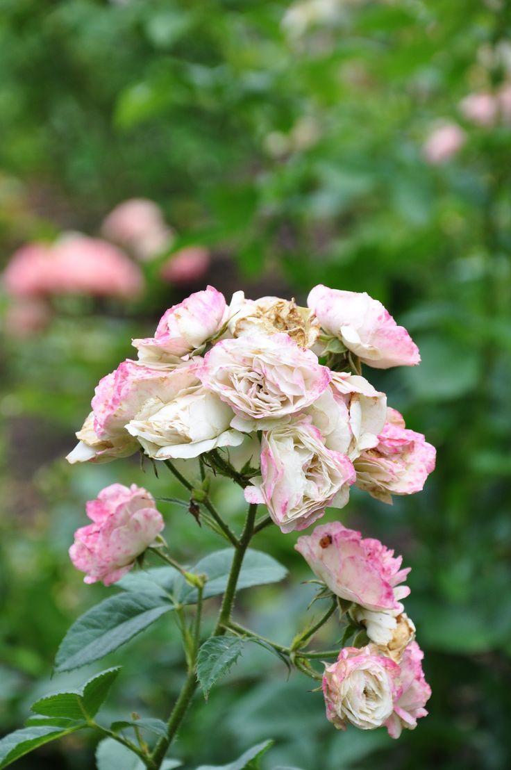 68 best les roses de mon jardin images on pinterest roses bouquet of roses and david austin roses. Black Bedroom Furniture Sets. Home Design Ideas