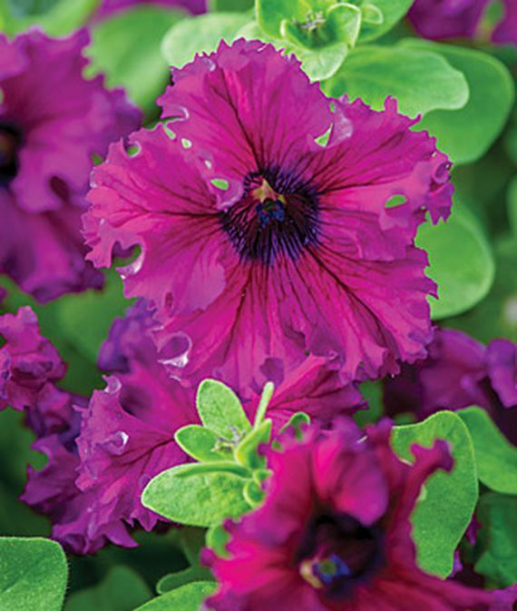 Petunia Espresso Frappe Ruby Hybrid Large With Images